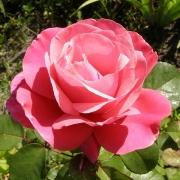 Розы Лине Ренауд