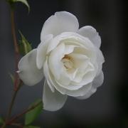 Розы Уайт Стар