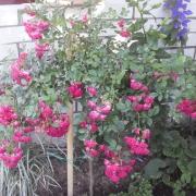 Розы Супер Эксцелза