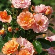 Розы Тугезер Форевер