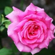 Розы Дюфтрауш