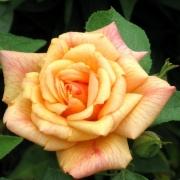 Розы Мичка