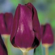 Тюльпаны Перпл Леди
