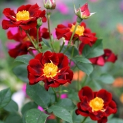 Розы Зоик