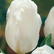 Тюльпаны Вильдхоф