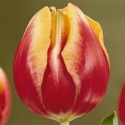 Тюльпаны Доу Джонс