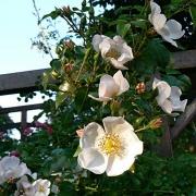 Розы Вайсе Имменси