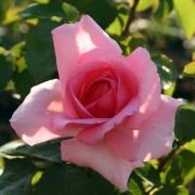 Розы Жардинс де Вилландри