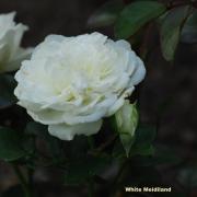 Розы Уайт Меидиланд