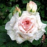 Розы Вероника Б