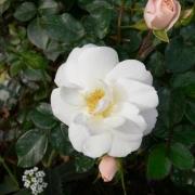 Розы Даймонд Бордер