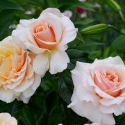 Розы Сью Хипкин