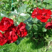 Розы Тур Эйфель 2000