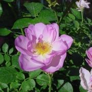 Розы Эскападе