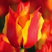 Тюльпаны Киев