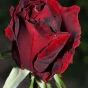 Розы Татьяна