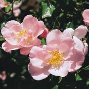 Розы Виндрозе