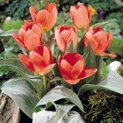 Тюльпаны Монтпеллиер