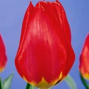 Тюльпаны Ред Ревайвл