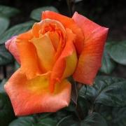 Розы Луи де Фюнес