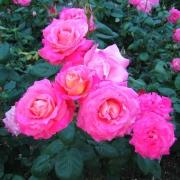 Розы Магента