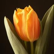 Тюльпаны Брайт Ирен