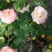 Розы Дуэт