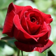 Розы Никколо Паганини
