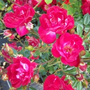 Розы Литтл Буккаро