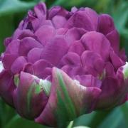 Тюльпаны Негрита Дабл
