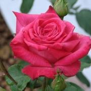 Розы Лолита Лемпика