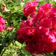 Розы Фронтенак
