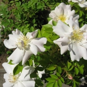 Розы Морден Сноубьюти