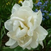 Тюльпаны Мундиаль