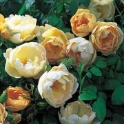 Розы Комтес де Шампейн