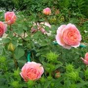 Розы Луиза Стоун