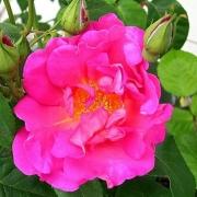 Розы Хербалист