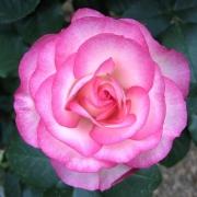 Розы Ханна Гордон