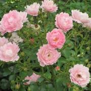 Розы Соммервинд