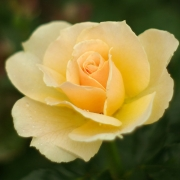 Розы Салвэйшн
