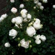 Розы Белла Вайс