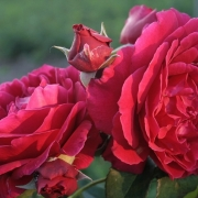 Розы Заед оф Абу Даби