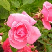 Розы Армада
