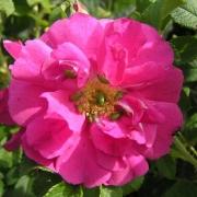 Розы Саймон Фрейзер