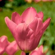 Тюльпаны Согетсу