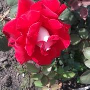 Розы Осириа