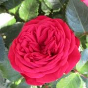 Розы Пиано