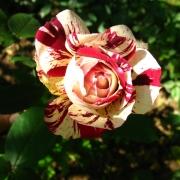 Розы Хулио Иглесиас