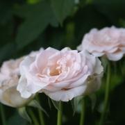Розы Вивальди
