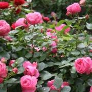Розы Леонардо да Винчи